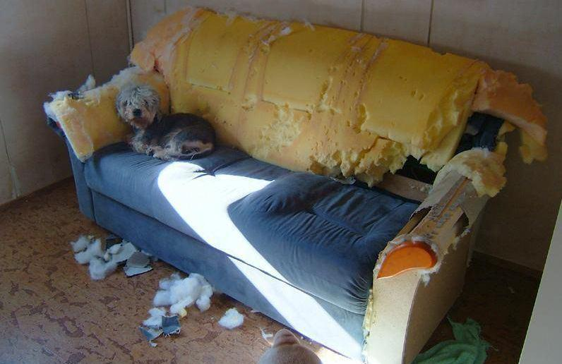 Dog trashed couch